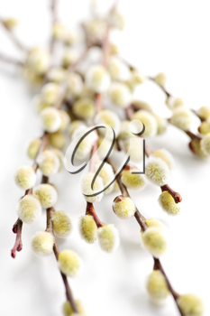 Spring Easter pussy willow branches isolated on white background