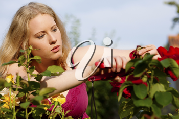 Woman doing garden work cutting the roses at beautifully sunny day