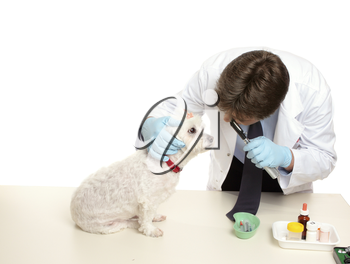 A maltese terrier receives a checkup at a veterinary clinic.