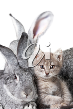 Image of grey rabbit with cute kitten near by
