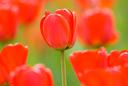 red tulips, focus point on center of photo
