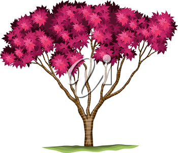 Illustration of a bloodgood Japanese maple plant on a white background