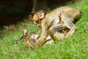 Two young monkey are fighting