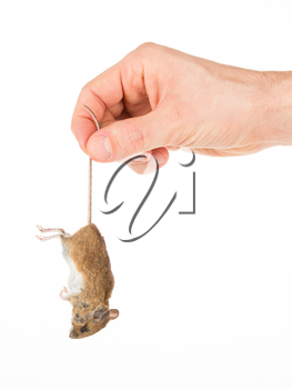Hand holding a dead mouse, isolated on a white background