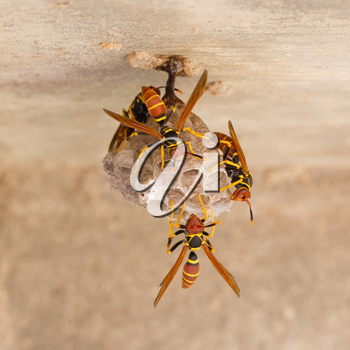 Jack Spaniard wasps on a small nest, Caribbean