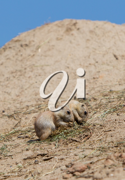 Two young black-tailed prairie marmot (Cynomys Ludovicianus) on a sandy hill