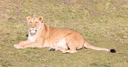 Lioness and cubs, exploring their surroundings in the winter