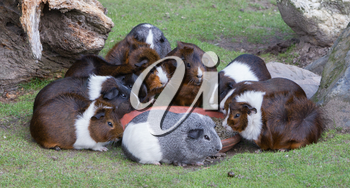 Portrait of guinea pigs eating, selective focus