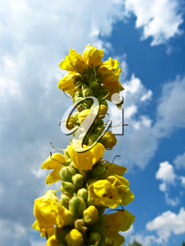 yellow flowers on a background of the blue sky