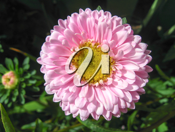 The image of beautiful and bright pink aster