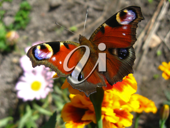 The graceful butterfly of peacock eye sitting on the tagetes