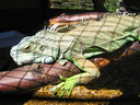 the image of green big iguana in zoo