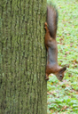 squirrel sits on a tree looking warily at the camera