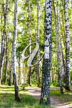 birch trees near path in forest in summer day