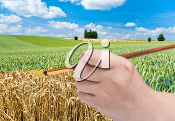 harvesting concept - hand with paintbrush paints golden ripe wheat in green field