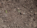 sowing grass seeds in loosened soil of lawn in spring
