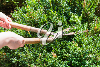gardener trims boxwood bushes by secateurs in summer day