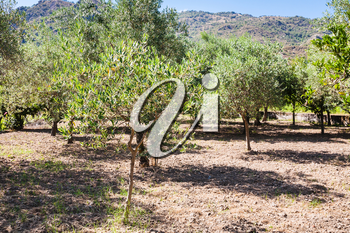 agricultural tourism in Italy - grove of young olive trees in garden in Sicily