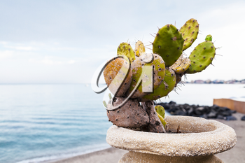 travel to Sicily, Italy - cactus plant in pod on waterfront in Giardini Naxos town in summer evening