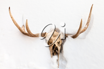 natural skull of young moose animal in white snow in Smolensk region of Russia