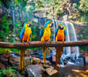Blue-and-Yellow Macaw Ara ararauna, also known as the Blue-and-Gold Macaw against tropical waterfall background