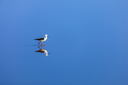 Solitude concept background -  The Black-winged Stilt ( Common Stilt, or Pied Stilt (Himantopus himantopus)) in water with reflection