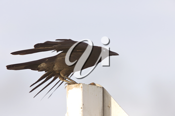 Crow fledgling perched on sign