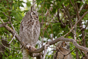 two Great Horned Owl fledglings perched in tree