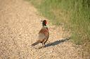 Ring-necked Pheasant (Phasianus colchicus torquatus) is an Upland Game Bird in the pheasant family Phasianidae. The adult pheasant is 53-90 cm or 21-36 in. in length with a long tail, often accounting