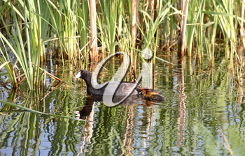 American Coot (Fulica americana) is a large water bird, of the family Rallidae. Adults have a length from tip of bill to tail end of 38 cm or 15 inches and it has a wingspan of 58-71 cm or  23-28 inch