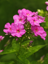 Blooming pink phlox blossoms on a green flower bed