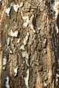 Bark detail of old birch tree in the sunlight