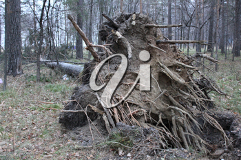 Fallen tree root in forest laying on ground 1301