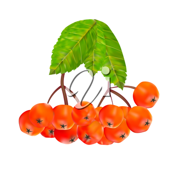Rowan Berries and Leaves Vector Illustration. EPS10