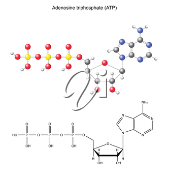 Structural chemical formula and model of adenosine triphosphate, 2d and, 3d, vector, eps 8