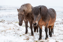 Two Icelandic horses stand on winter meadow
