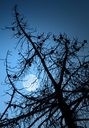 Dry dead pine tree silhouette and full Moon above deep blue sky