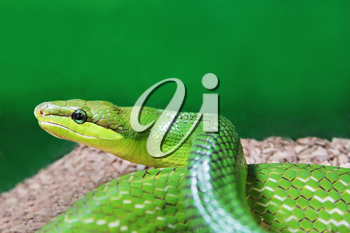 Beauty green snake close up