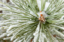 Close-up of frozen coniferous pine branch at winter