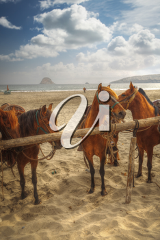 Peruvian Paso - horse breed. This breed is protected by the Peruvian government.