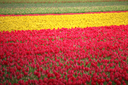 field with red tulips in the netherlands