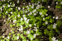 Oxalis flowers under sunlight in the forest
