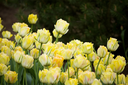 Many beautiful yellow tulips