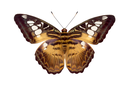 Butterfly Parthenos Sylvia isolated on white background