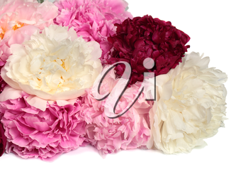 Different color peonies  isolated on white background