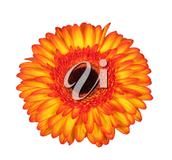 Beautiful multicolored red and yellow gerbera flower isolated on white background