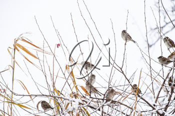 Sparrow on branches of bushes. Winter weekdays for sparrows. Common sparrow on the branches of currants.