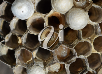 The larvae in honeycombs hornet's nest. Wasps polist. The nest of a family of wasps which is taken a close-up.