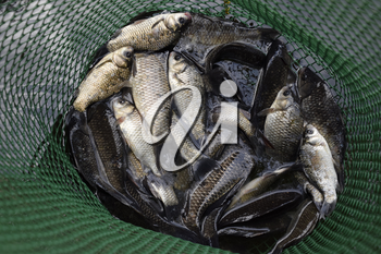 River fish in a green plastic grid in a pond. Fish catch. Carp and carp. Weed fish
