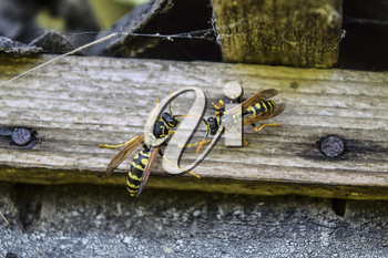 Two wasps on a plank. Wasps polist. The nest of a family of wasps which is taken a close-up.